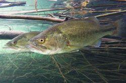 pescar-rio-ebro-blackbass-spinning-camping-portmassaluca2
