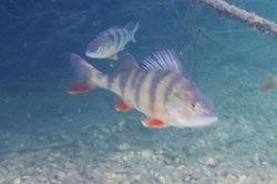 pescar-rio-ebro-perca-fluviatilis-spinning-camping-portmassaluca2