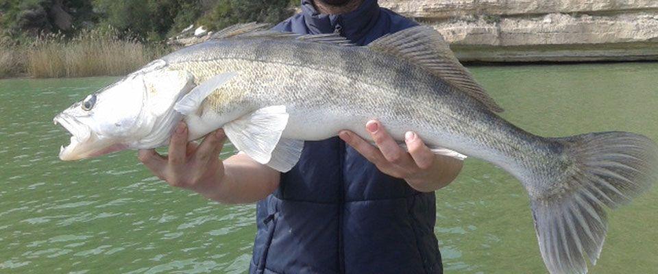 pesca de luciopercas a spining en el río ebro, en el embalse de ribaroja