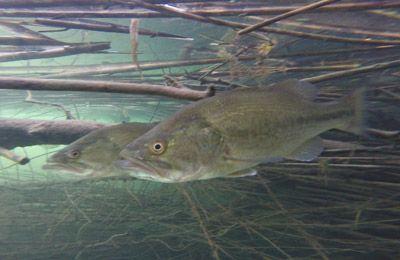 black-bass-pesca-ebro-portmassaluca